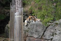 2014-08-17 (200) (CookiiEwe) Tags: park berg animals rock sweden stripes wildlife tiger watching relaxing sverige paws siberian vilar observing djur kolmården djurpark sibirisk ränder tassar observerar