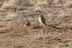 One Burrowing Owl keeps watch, the other naps