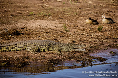 Crocodile & Egyptian Geese In Chobe National Park, Botswana