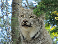 Lynx (2) (bookworm1225) Tags: zoo october minnesotazoo 2013 tropicstrail minnesotatrail