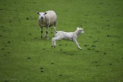 Lamb [Explored, 2015-04-24] (Luc V. de Zeeuw) Tags: netherlands spring sheep lamb gras friesland wons explored