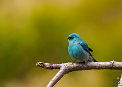 Verditer-Flycatcher (creativepraveen82) Tags: india nature birds uttarakhand indianbirds birdsofhimalayas
