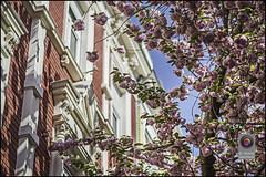 Bonn-Kirschbluete-5 (kurvenalbn) Tags: deutschland bonn pflanzen blumen nordrheinwestfalen frhling kirschbluete