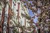 Bonn-Kirschbluete-5 (kurvenalbn) Tags: deutschland bonn pflanzen blumen nordrheinwestfalen frühling kirschbluete