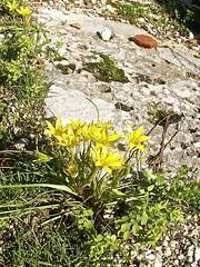 Gagea peduncularis 4 (heinvanwinkel) Tags: 2009 februari phaselis liliaceae liliales magnoliidae stervanbethlehem spermatophyta tracheophyta gageapeduncularis lilianae euphyllophyta lilioideae bloemvandedag liliineae gageeae
