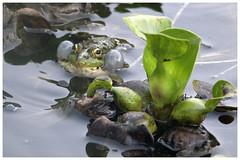 Rana (Antonio Sabin) Tags: espaa verde primavera water spain frog galicia rana calma tranquilidad charca comn anfibio anuro canon6d