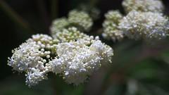 Elderberry Flowers (bamboosage) Tags: macro with cosina mc 12 55 vivitar teleconverter 2x focusing