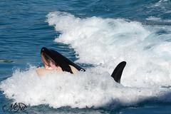 Wikie (neku.chou) Tags: ocean sea mer water animal aquarium nikon aqua eau photographie dolphin killer whale whales orca cote killers animaux vague dauphin marineland dazure orcinus antibe orque wikie d5200