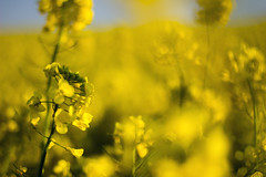 After the Gold Rush (Fabien Husslein) Tags: sun blur france nature gold soleil spring or rape agriculture f18 lorraine printemps moselle rapeseed colza