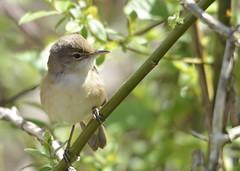 reed warbler (GE fotography) Tags: brown white eye reed yellow bill bright ring buff warbler passeriformes acrocephalus scirpaceus 4572 sylvidae