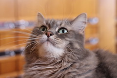 Things are looking up (MomOfJasAndTam) Tags: pet up animal cat fur furry feline looking bokeh mybaby focused shayla littlebitofbokeh
