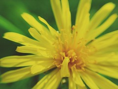 Macro #004 (andynizkokhat) Tags: flower macro nature 004 caliningrad andymacro