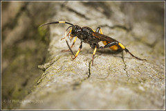 Ichneumon Wasp (Ed Phillips 01) Tags: macro insect wasp cleaning ichneumon staffordshire mpe