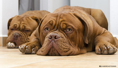 Chilling out (and641) Tags: nikond5100 bokeh bordeaux dogs doguedebordeaux look eyes animal pets greece sb700 18105 atlas ciara