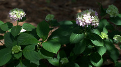 IMG_8692.CR2 (jalexartis) Tags: flowers flower spring bloom hydrangea blooms shrub shrubbery pinkhydrangea