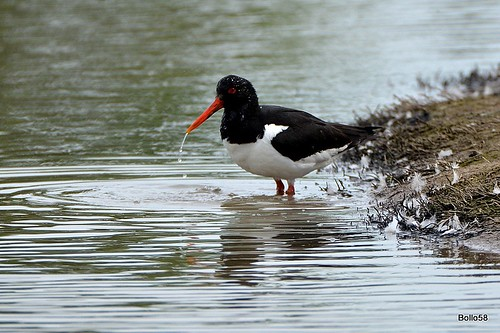 Oystercatcher - WWT Slimbridge 27-05-2016 16-07-37