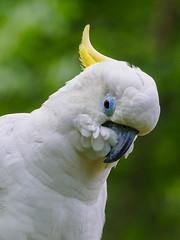 Triton Cockatoo (Joey Hinton) Tags: animal zoo nashville tennessee wildlife olympus cockatoo f28 triton omd grassmere m43 mft 40150mm em5 microfourthirds