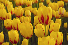 Tulips (Mucahit Cetin) Tags: flowers red plant flower nature yellow spring colorful petal tulip