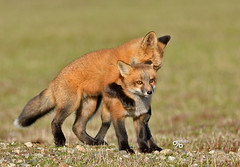 DB6_8900 (DouglasJB) Tags: rabbit nature fields redfox cuteanimals djbphotocom nikonafsnikkor300mmf28gedvrii