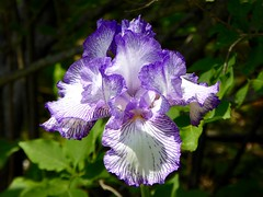 Another iris from my garden (lovesdahlias 1) Tags: iris flowers blossoms gardens nature newengland