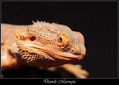 Drago barbuto (Daniele Marongiu) Tags: macro look animal closeup dragon reptile lizard sguardo exotic spine thorns animale jurassic beardeddragon drago lucertola coldblood rettile esotico sanguefreddo giurassico dragobarbuto