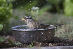White-crowned Sparrow_5905 (Mike Head - Jetwashphotos) Tags: canada bath bc dish adult britishcolumbia watching delta sparrow enjoyment splashing hotday whitecrownedsparrow westerncanada westernregion