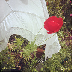 Lace and poppy (Helene Iracane) Tags: red sun white flower nature fleur garden rouge soleil spring lace jardin sunny poppy blanc printemps dentelle coquelicot ipad