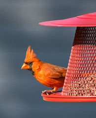 POTW 2016-07-24 - Backyard Cardinal (BillDamon) Tags: cardinal bird