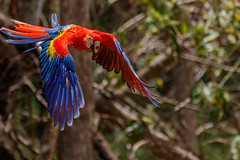 Honduras-034 (s4rgon) Tags: ara birds copan honduras mayaruins pagagei parrot ruine vogel copánruinas copán hn