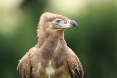 Palm-nut Vulture (charliejb) Tags: holiday bird wings cornwall wildlife beak feathers vulture avian carnivore feathered 2016 paradisepark palmnutvulture