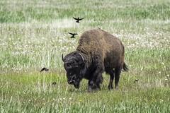 Bison; Grand Teton National Park (HDRob) Tags: bison buffalo grandtetonnationalpark grandtetons wildlife