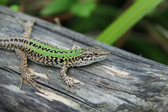 A Friend (leays) Tags: green nature animal reptile amphibian lizard