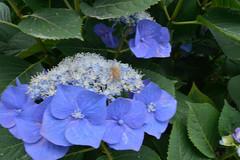 Don't touch my flowers (kzmiz) Tags: nikond800e japan saitama kumagaya nagaiota nogo ji temple hydrangea bea