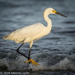 Snowy Egret (karenmelody) Tags: animal animals ardeidae bird birds coastaltexas egret egrets egrettathula pelecaniformes portaranasas snowyegret texas usa vertebrate vertebrates