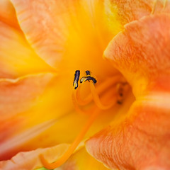 Day Lilly Close up... (zoomclic) Tags: canon closeup colorful dof dreamy flower nature plant yellow orange pistil stamen daylily 7d tse90mmf28 zoomclicphotography 500dcloseupfilter