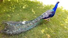 isole borromee (33) (giangian239) Tags: lago acqua blu giardino maggiore albero verde prato statua monumento isola isole borromee madre bella superiore panorama paesaggio lungolago pavone bianco indiano pavo cristatus chrysolophus pictus fagiano dorato