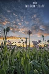 Opium high.... * explored * (Emily_Endean_Photography) Tags: field landscape explore dorset poppy opium explored