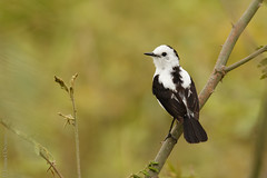 Fluvicola pica - Pied Water-Tyrant (danielplow) Tags: nature birds colombia birding birdwatching risaralda piedwatertyrant fluvicolapica birdsofcolombia colombiabirding canoneos7dmarkii 7dmarkii canon7dmarkii