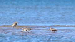 Bar-tailed godwits on the beach. (Limosa lapponica) (Sirke Vaarma) Tags: yyteri godwit punakuiri kuiri beach ranta sea meri bird lintu limosa