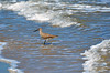 Willet, Texas, Kleberg County, Padre Island National Seashore (EC Leatherberry) Tags: gulfofmexico texas wildlife nationalparkservice shorebird willet padreislandnationalseashore tringasemipalmata klebergcounty