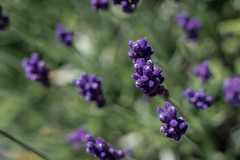 Lavender By the Bay (irvingwhitney) Tags: lavender purple north fork longisland newyork flower flowers bud english