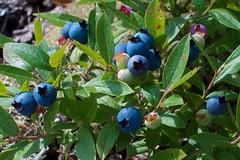 Wild blueberries (devoutly_evasive) Tags: berries fruit wild blueberries blueberry ontario northern northwestern