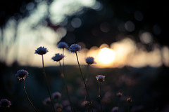 Summer Nights (samuel.rolo) Tags: flowers blue light sunset orange beautiful yellow night 50mm nikon purple bokeh depthoffield 18 50 tones armeria maritima d610