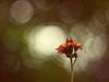 2016-07-11_11-09-31 (torstenbehrens) Tags: altglas nature bokeh panasonic dmcg1 porst color 117 f50mm flower flora natur on1 on1pic