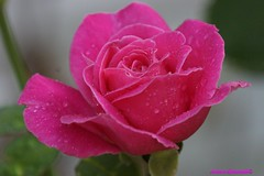 Wet Pink Rose (Anton Shomali - Thank you for over 700K views) Tags: morning pink flowers summer flower nature wet beautiful rain rose garden photo drops backyard picture raindrops aftertherain drizzle summerflower