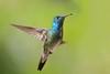 One more hummer (PeterQQ2009) Tags: brazil birds versicoloredemerald amaziliaversicolor
