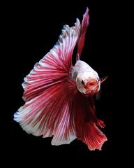 White-red betta fish (Jirawatfoto) Tags: red pet white fish black color nature beautiful beauty animal aquarium colorful background siamese flame exotic domestic tropical aquatic elegant fighting aggressive betta luxury isolated