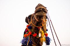 A Proud Animal (ahmadtalha1987) Tags: life street pakistan nature animal camel