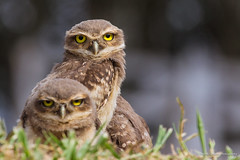 Burrowing Owls (Thelma Gatuzzo (off the air)) Tags: bird animals ngc npc raptor owl coruja animais athenecunicularia burrowingowl buho littleowl corujaburaqueira vizcachera steenuil chevchedathna chevchedesterriers kaninchenkauz lechucitadecampo animailia thelmagatuzzophotography