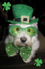 "3/12A ~ Riley ~ ""I Feel Silly"" (ellenc995) Tags: green riley westie westhighlandwhiteterrier shamrock stpatricksday march17 coth supershot akob pet100 100commentgroup alittlebeauty yearofholidays challengeclub coth5 naturallywonderful thesunshinegroup 12monthsfordogs15"